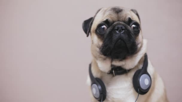 Portrait of cute, funny pug dog in headphones listening music, surprised dog