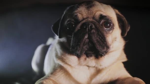 Portréja egy aranyos mopszli kutya a sötétben