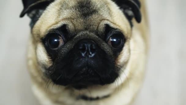 Közelkép portréja aranyos vicces mopszli kutya. Lassú mozgás