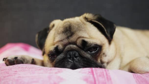 Detail tváře roztomilý Mops pes usíná na lůžku v ložnici