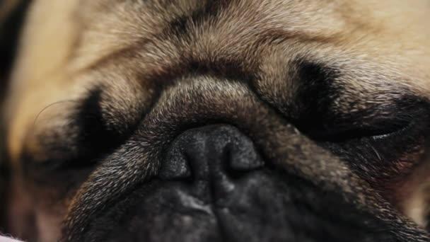 Makro zblízka tváří roztomilé Mops pes spánku na posteli v ložnici