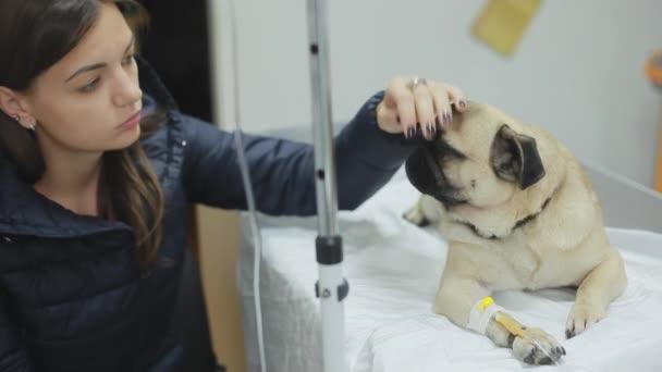 Nemocný pug psa na veterinární klinice s katetrem v packu, dívka tahy a lituje Mops