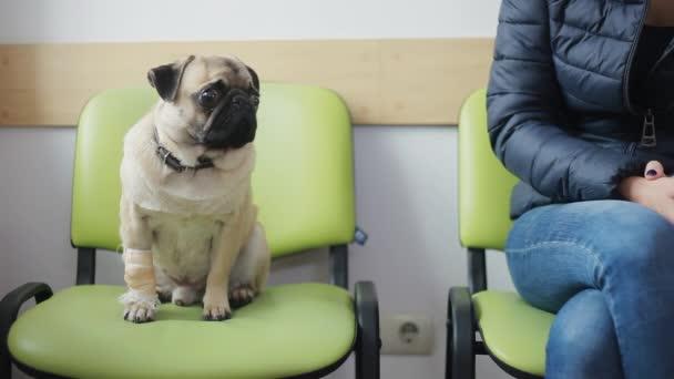 Nemocný pes Mops obvázanou tlapkou v řádku na veterinární klinice, dívka tahy a pities pes