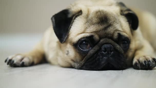 Szomorú mopszli kutya fekszik a földön, közelről esik alszik és látszó-on fényképezőgép