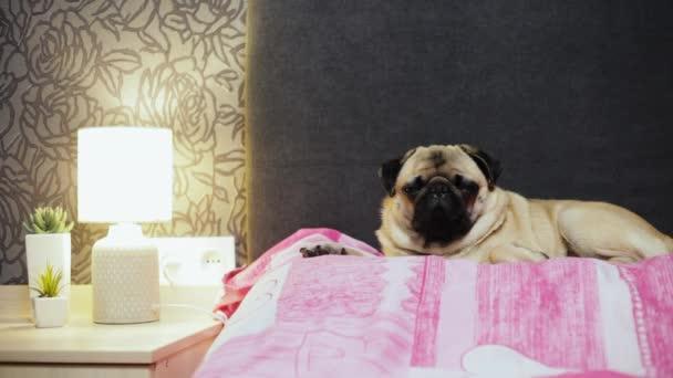 Roztomilý Mops pes usíná na lůžku v ložnici