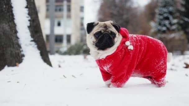 Vicces mopsz egy Mikulás-ruha állni a hóban-a tél parkban. Karácsony vagy újév