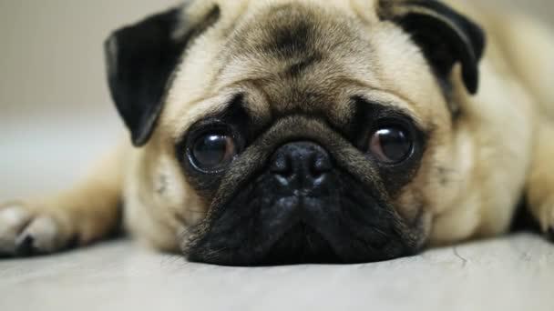Aranyos mopszli kutya a padlón fekszik, alszik, és nézte a kamera esik. Közeli kép: