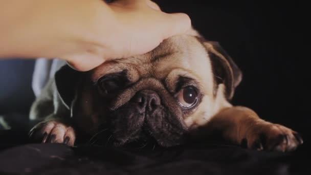 Aranyos mopszli kutya portré. Férfi kéz simogatta egy Mopszli kutya, közeli