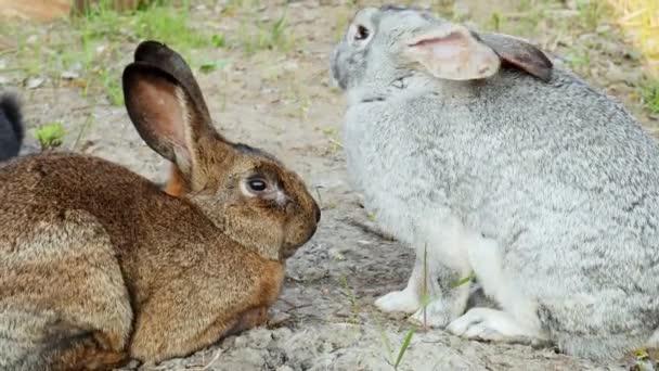 zwei Kaninchen liegen auf dem Gras, schlafen übereinander ein, Paarungszeit