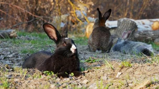schwarzes Kaninchen liegt auf dem Gras im Wald und blickt in die Kamera