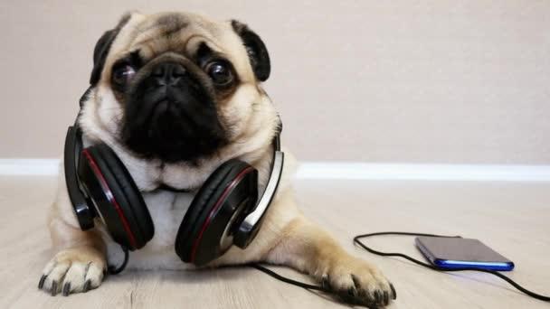 Meglepett, zaklatott, furcsa mopszli kutya hazudik-ban fejhallgató hallgató zene