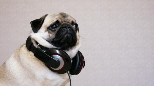 Portrait of funny pug dog listening music with big headphones