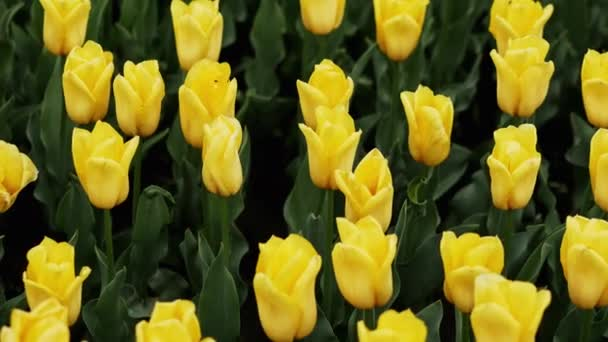 Yellow tulips blooming at beautiful park, many flowers