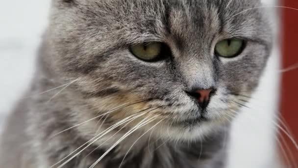 Zár-megjelöl arckép-ból egy gyönyörű súlyos fajtiszta macska látszó-on fényképezőgép