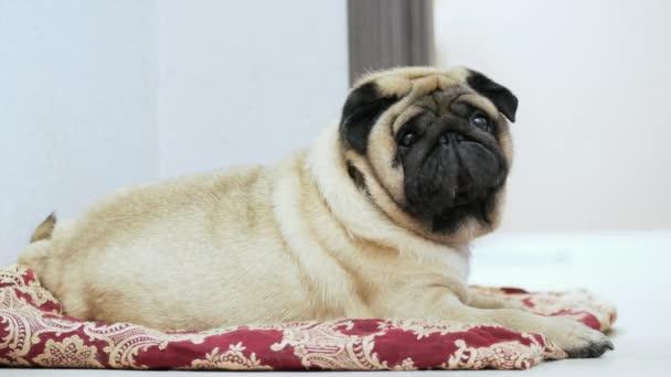 Aranyos és kövér mopszli kutya fekszik egy takaró vagy párna, lusta kutya elalszik a kutya hely