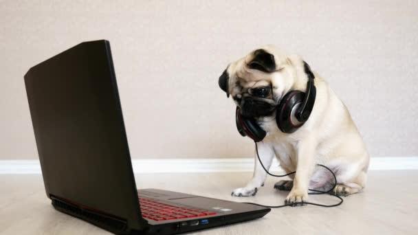 Vicces mopszli kutya nagy fejhallgató néz a képernyőn egy laptop számítógép