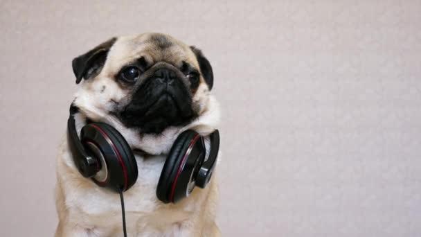 Aranyos vicces mopszli kutya hallgat zenét nagy fejhallgató, portré vicces mopsz