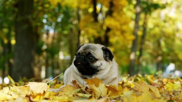 Cute and funny pug lying in sunny autumn forest, yellow leaves falling on dog head