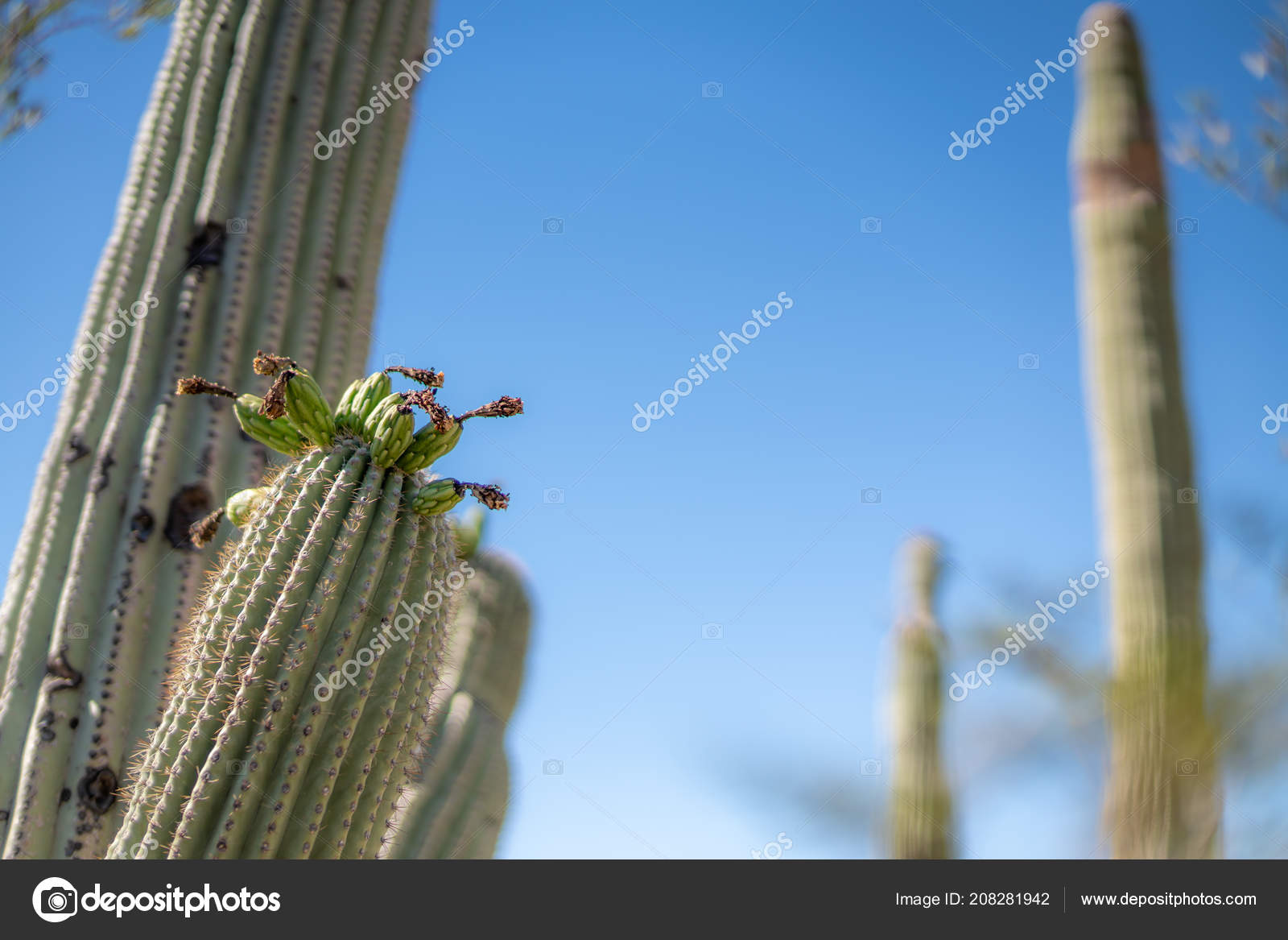 Saguaro Cactus Blossoms With White Flower And Fruit Stock Photo