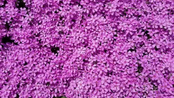 tmavě fialové malé květiny v zahradě