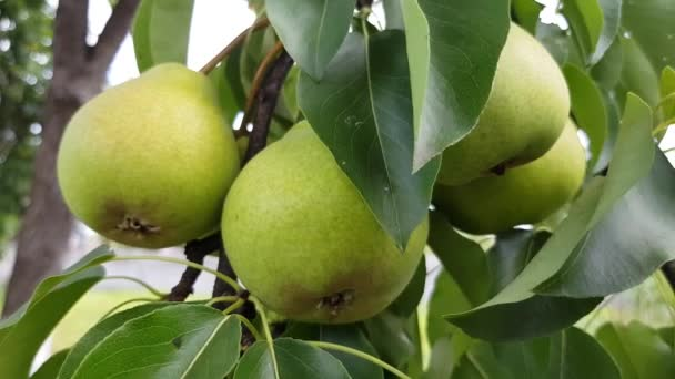 green pears grow on a branch