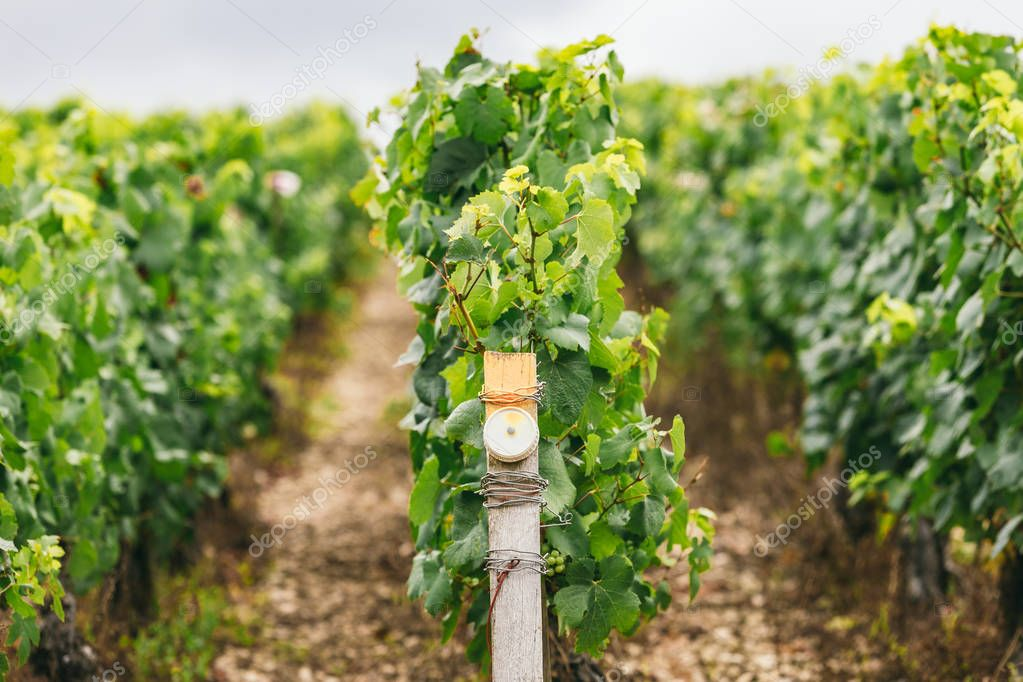 Conditions of growing grapes in France, on the grapevine special sensors are installed, winemaking in France