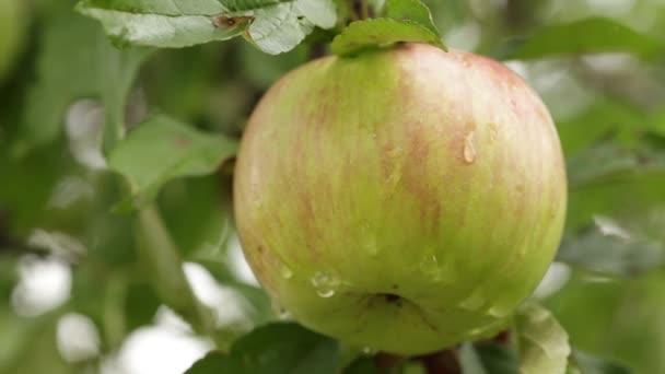 Jablko s rosou na větvi