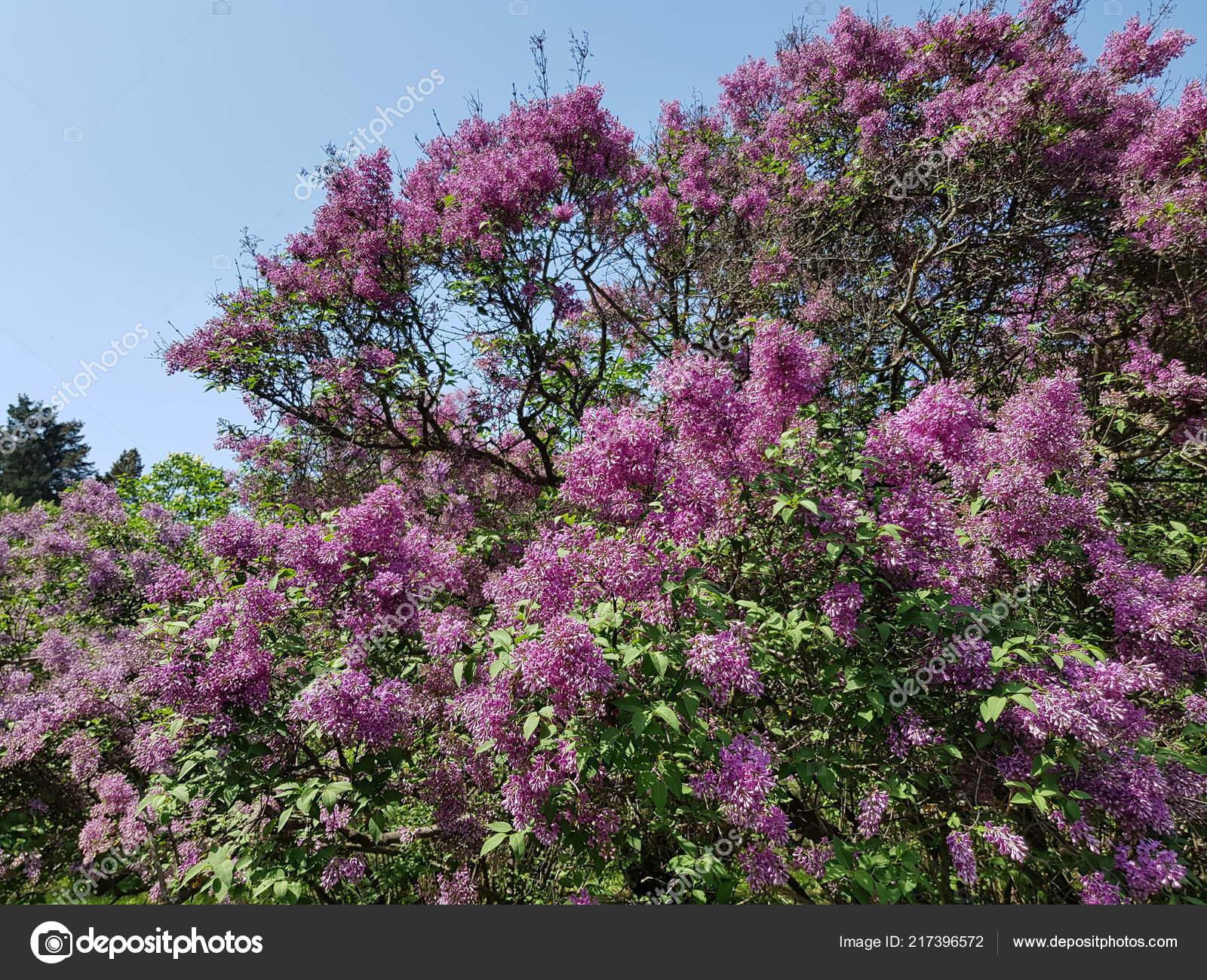 Floraison Lilas Bush Pourpre Dans Jardin Botanique Fleurs ...