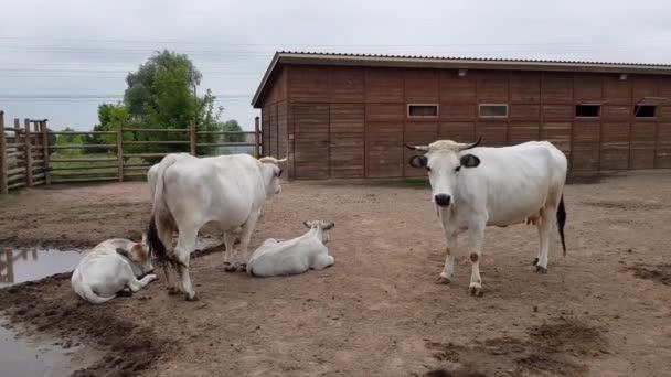 tehenek, borjak, a kerítés