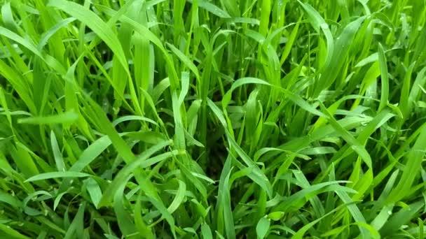 Čerstvá a šťavnatá tráva na zeleném trávníku detailní up.