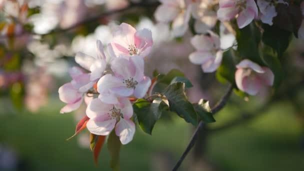 Jaro, slunečný den, kvetoucí zahrady. Bílorůžovými květy na jabloni v době květu. Jarní nálada