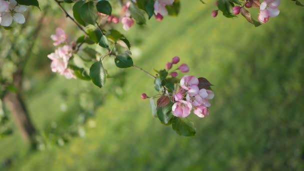 Jaro, slunečný den, kvetoucí zahrady. Bílorůžovými květy na jabloni v době květu. Jarní nálada.