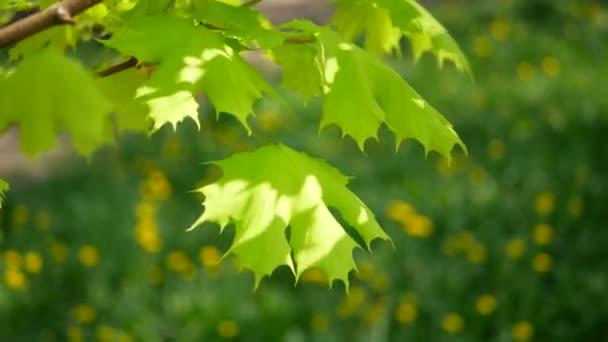Primavera Arce Con Hojas Color Verde Brillantes Contra Fondo Hierba ...