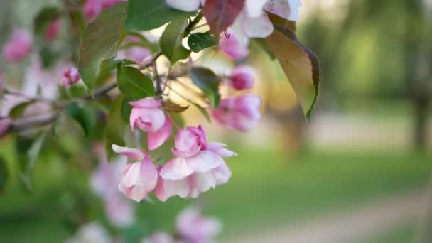Tavaszi, napsütéses napon, egy virágzó kert. Fehér-rózsaszín virágokat a virágzás idején egy almafa. Tavaszi hangulat.