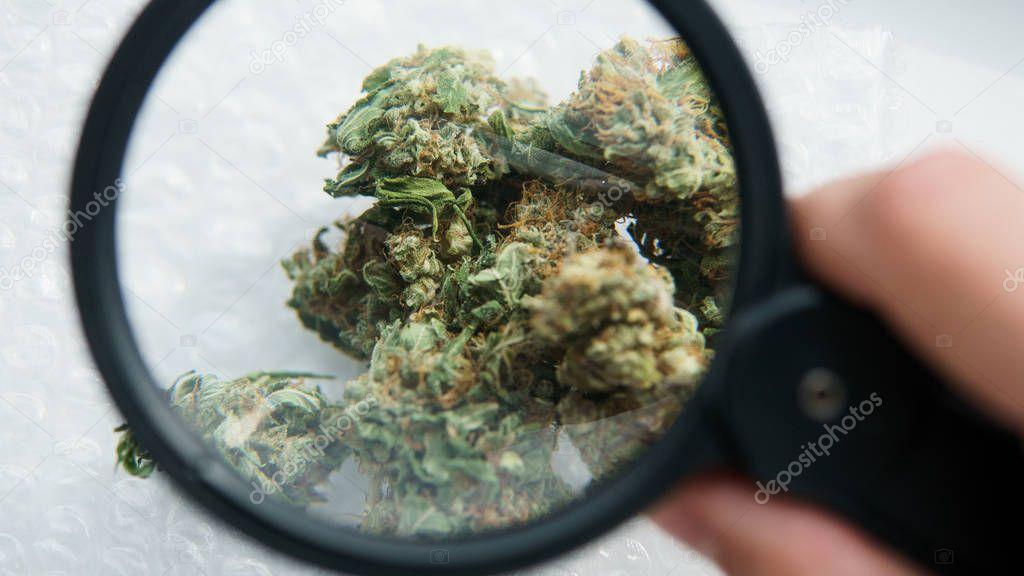 Marijuanna buds under magnifying glass close-up.