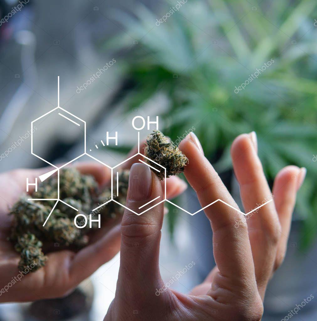 marijuana buds in women's hands close-up. Candian Marijuana news