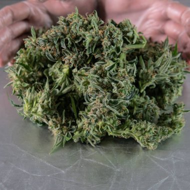 Harvest time for cannabis buds in details. Sativa strains for medical use