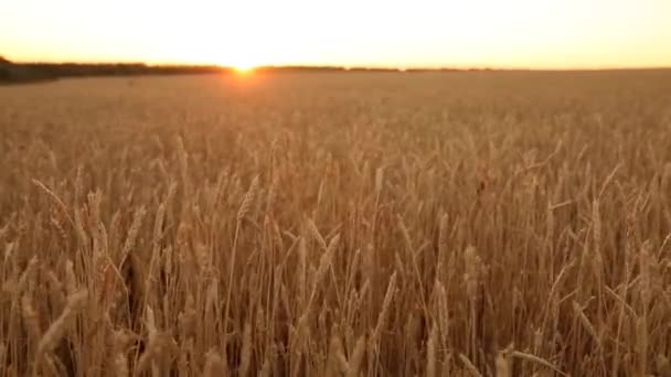 Wheat ears at the farm field, shallow depth of field. Golden ripe wheat field on sunset. Rich harvest and agricultural theme concept. Dolly shot panorama.