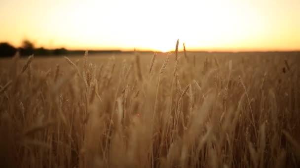Búza fülek a mezőgazdasági területen, sekély mélység-ból mező. Arany érett Búzamező a naplemente. Gazdag termés és mezőgazdasági téma fogalom. Vízszintes panoráma. A sekély mélységélesség nézetének bezárása