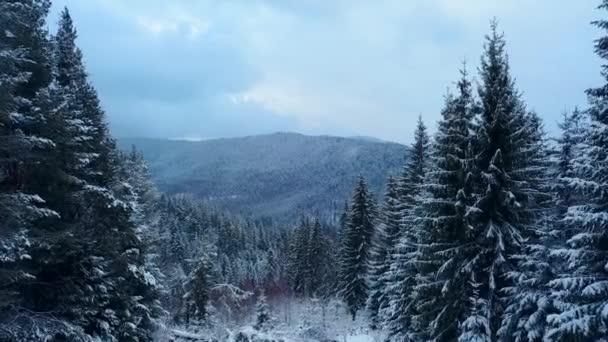 Letecké záběry ze zimní jedle lesa v horách. Pohled shora borovic pokryté sněhem. Kvadrokoptéra nadjezdu zasněžené smrkových lesích. Vánoční sezóna. Náladové počasí na mrazivý den