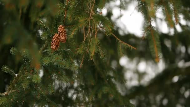 Fir tree cones on a branch. Evergreen spruce during winter snowfall. Beautiful christmas background with nice bokeh for copyspace and design. Snowy day. Snowflakes swirl in the air in slow motion.