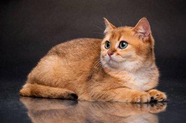 The cat is British gold Chinchilla