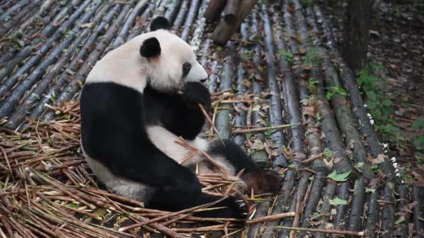 Giant panda eating bamboo closeup