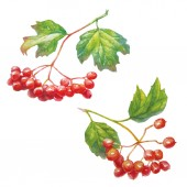 Vector Red viburnum opulus - guelder-rose - branch with leaves and berries -medicinal plant.