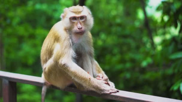 a wild monkey sits on the railing in the park. the natural habitat of animals.
