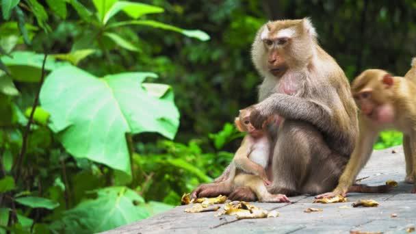Opičí matka s mládětem v národním parku. přirozené prostředí, péče a ochrany zvířat. opice jíst banány.