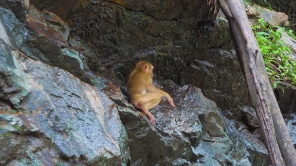 Opice na skále pije vodu. zvířata ve volné přírodě. přirozené prostředí opic