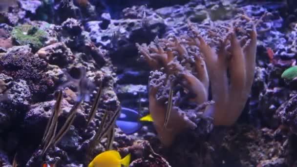 Aquarium fishes is swimming close-up.Blue Aquarium background.