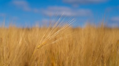 Field barley in period harvest on background blue sky
