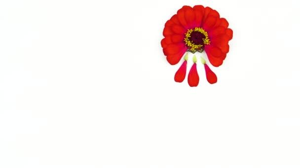 červené zinnie květy jemně demonstrují dobu menstruace pro ženy osobní hygienu. červené lístky spadaly jako kapky krve do modrého menstruálního kelímku